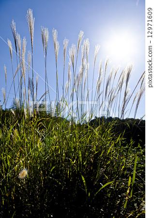 照片素材(图片): 斑叶芒 日本蒲苇 蓝天