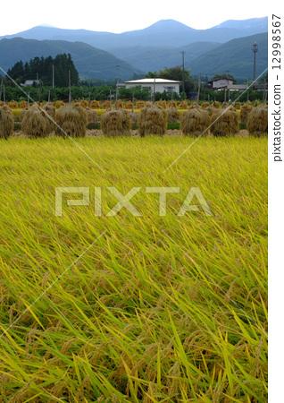风景_自然 田地_稻田 稻田 照片 稻田 水稻 水稻丰收 首页 照片 风景