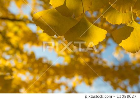 树叶 银杏 叶子
