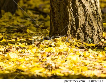首页 照片 植物_花 树_树木 银杏 银杏 落叶 银杏树  *pixta限定素材