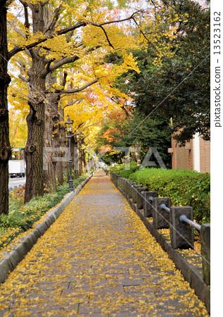 图库照片: 银杏树排行 落叶 秋天