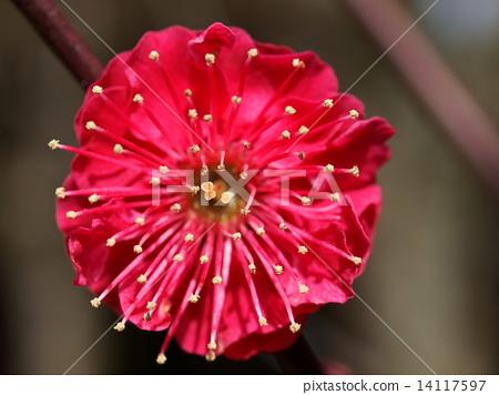 表情 可爱 日本杏花 一朵梅花 日本梅子  *pixta限定素材仅在pixta
