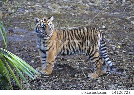 动物_鸟儿 陆生动物 老虎 照片 老虎 虎 热带雨林 首页 照片 动物