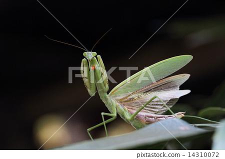 图库照片: 威胁 螳螂 可爱