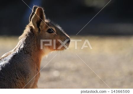 照片 袋鼠 首页 照片 姿势_表情_动作 构图 侧脸 袋鼠  pixta限定素材