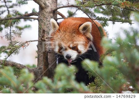 图库照片: 四川红熊猫 小熊猫 动物