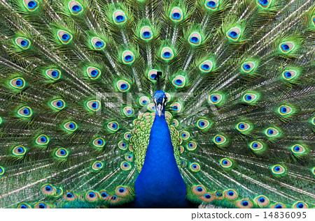 图库照片: 孔雀 多摩动物园 可爱
