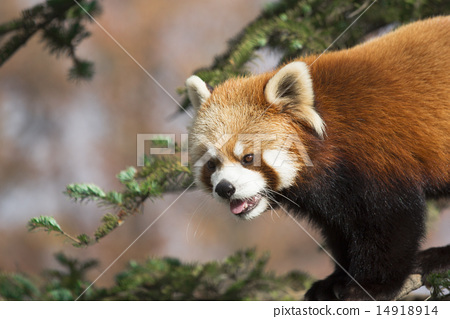 图库照片: 小熊猫 四川红熊猫 动物