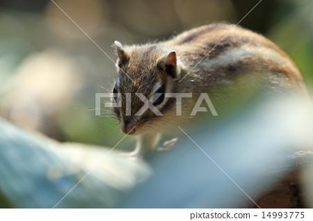 图库照片: 松鼠 花鼠 小动物