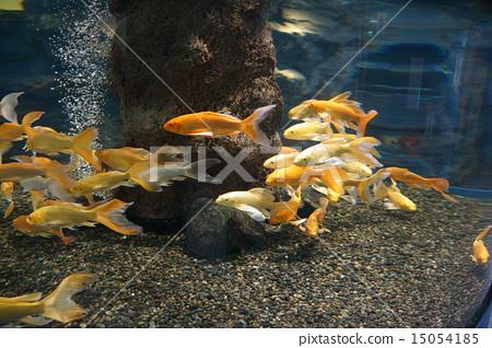鱼_海鲜 金鱼 照片 鱼 水族馆 水箱 首页 照片 鱼_海鲜 金鱼 鱼 水族