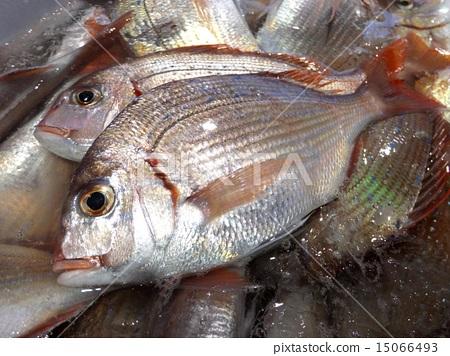鱼_海鲜 海水鱼 鲷鱼 照片 鲷鱼 鲷鱼 首页 照片 鱼_海鲜 海水鱼 鲷鱼