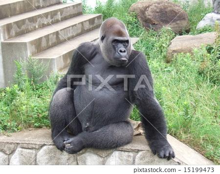 图库照片: 大猩猩 动物 黑色