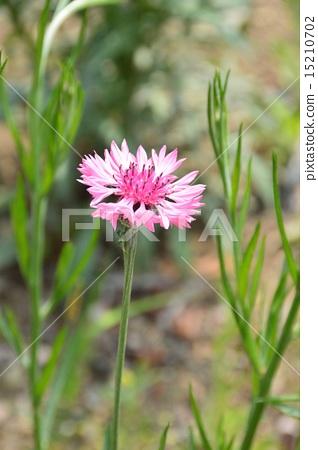 粉色 玉米花 首页 照片 姿势_表情_动作 表情 可爱 粉红色 粉色 玉米