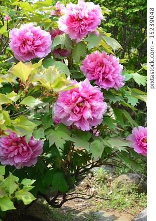照片 粉色 牡丹 花朵 首页 照片 姿势_表情_动作 表情 可爱 粉色 牡丹