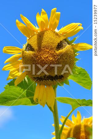 脸部 脸 首页 照片 植物_花 向日葵 向日葵 脸部 脸  *pixta限定素材