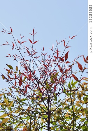 南天竹 首页 照片 植物_花 树_树木 枫树 南天竹  *pixta限定素材仅在