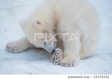 桃子图库:北极熊照片配送蟒蛇是怎么样过冬的图片