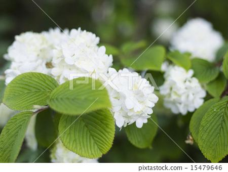 照片 植物_花 绣球花 绣球花 白色 六月  pixta限定素材      绣球花