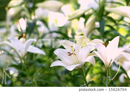 照片 姿势_表情_动作 表情 可爱 莉莉 白百合 花朵  *pixta限定素材仅