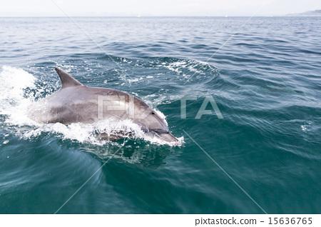 首页 照片 动物_鸟儿 海洋动物 海豚 海豚 跳 水花  *pixta限定素材仅