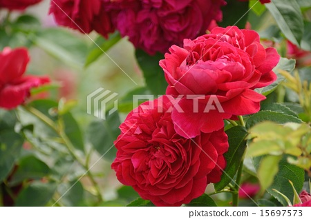 深宫风云之玫瑰_图库照片: 玫瑰 玫瑰花 深红色