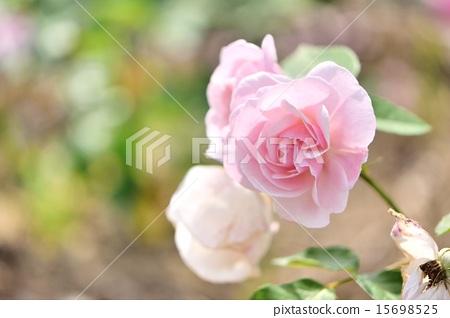 浅粉色 首页 照片 植物_花 玫瑰 玫瑰 玫瑰花 浅粉色  *pixta限定素材