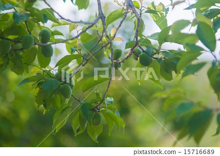 照片 质地 树 木纹 梅 日本梅子 树  *pixta限定素材仅在pixta网站,或