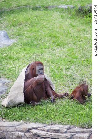 图库照片: 猩猩 动物园 婴儿
