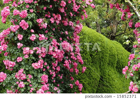 图库照片: 玫瑰 玫瑰花 玫瑰藤