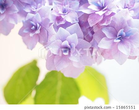 紫色 首页 照片 植物_花 绣球花 星系 绣球花 紫色  pixta限定素材