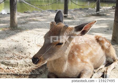 图库照片: 鹿 奈良公园 草食动物