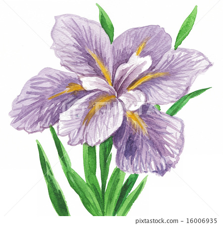图库插图: 花菖蒲 水彩画 植物