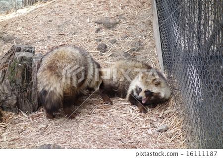 图库照片: 旭山动物园 貉狸