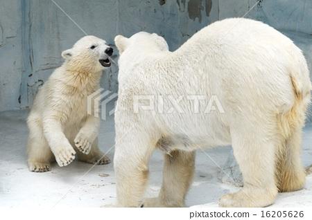 表情 可爱 北极熊 父母身份 父母和小孩  *pixta限定素材仅在pixta