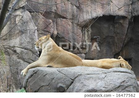 狮子 首页 照片 姿势_表情_动作 构图 侧脸 狮子  *pixta限定素材仅在