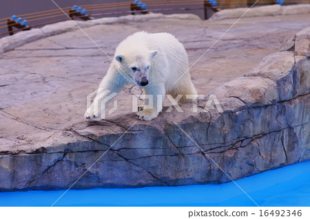 图库照片: 北极熊 动物园 哺乳动物