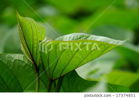 照片 蔬菜_食品 根菜类_芋头类 红薯 红薯 树叶 叶子  *pixta限定素材