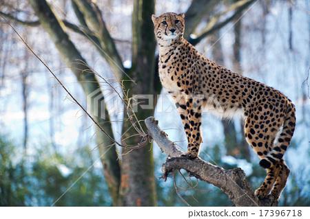 图库照片: 猫科 猎豹 动物