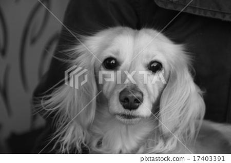 图库照片: 玩具狗 小型犬 可爱