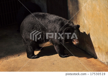 图库照片: large bear with black fur at the zoo