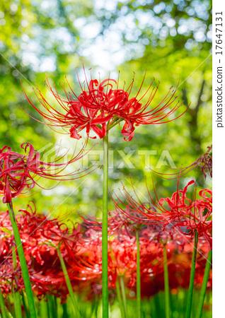 照片 植物_花 花束 彼岸花 彼岸花 曼珠沙华 花朵  *pixta限定素材仅