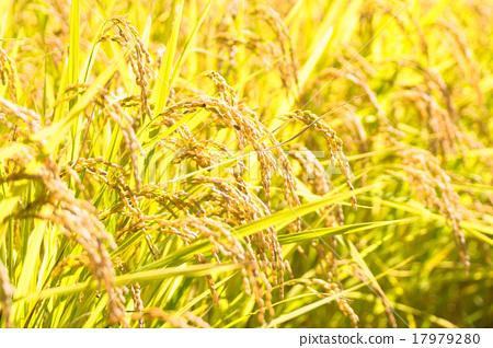 首页 照片 蔬菜_食品 蔬菜 玉米 水稻 稻穗 丰收  *pixta限定素材仅在