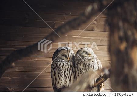 图库照片: 猫头鹰 动物 睡觉