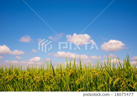 首页 照片 天空 蓝天 稻穗 蓝天 蓝蓝的天空  *pixta限定素材仅在pixt