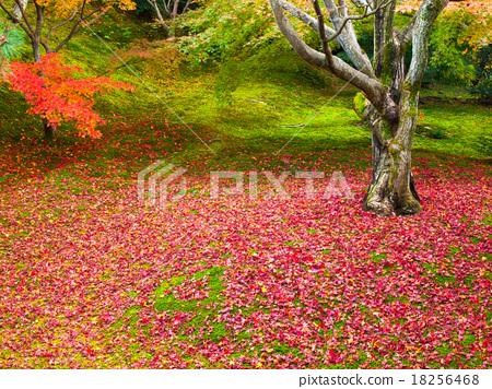 首页 照片 植物_花 树_树木 枫树 枫树 枫叶 红枫  *pixta限定素材仅