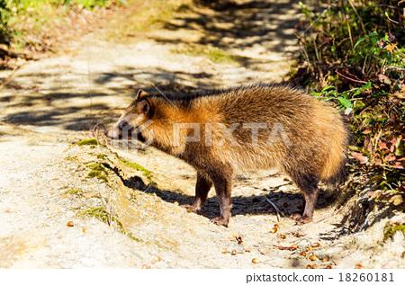 图库照片: 狸 哺乳动物 貉