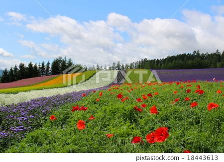 图库照片: 富田农场 花园 风景