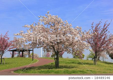 首页 照片 植物_花 樱花 樱花 樱花 樱桃树 重瓣樱树  *pixta限定素材