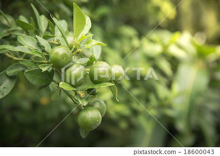 图库照片: lime hanging on tree