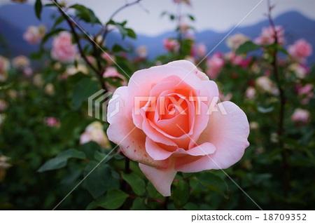 玫瑰 玫瑰花 花瓣 首页 照片 姿势_表情_动作 表情 可爱 玫瑰 玫瑰花